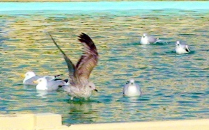 Seagulls at the Lido  - copyright Ann Perrin 2012