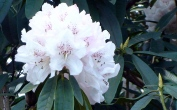 A lovely rhododendrom  moved from London to Saltdean 5 years ago,,,survived!