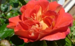 Robin's red rose bought for mother's day, copyright Ann Perrin June 2012