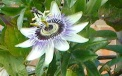Passion flower in our garden