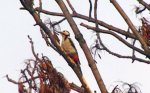 The woodpecker in Woodside