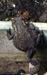toad beats a hasty retreat to a flowerpot