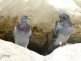 pigeons on cliff